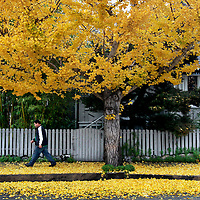 A gingko tree drops its bright yellow leaves onto the Chestnut Street sidewalk, creating a rhapsody of color on a gray rainy morning in Santa Cruz, California.<br /> Photo by Shmuel Thaler <br /> shmuel_thaler@yahoo.com www.shmuelthaler.com