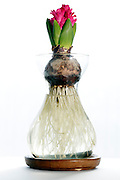 sprouting hyacinth bulb