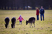 "Little girl approaches Fallow Deer in the Phoenix Park, DublinFallow Deer (Dama dama) grazing on the ""15 acres"" in the Phoenix Park, Dublin. There's been a herd here since the 17th century. They live completely wild elsewhere in Ireland, and were introduced by the Normans in the 12th century."