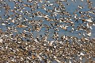 Mixed Wader Flock