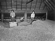 5604Scooping dried hops into cars. Men: Donald Lundberg, Milford Dufur, and Dale Gentry at the E. Clemens Horst hop ranch near Independence, Oregon. September 1, 1942.