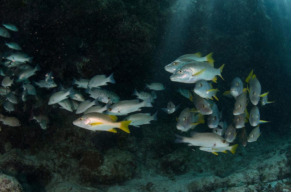 Schoolmaster (Lutjanus apodus) & Gray Snapper (Lutjanus griseus)<br /> Hol Chan Marine Reserve<br /> near Ambergris Caye and Caye Caulker<br /> Belize<br /> Central America