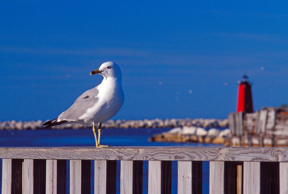 A GULL ON THE MANISTIQUE BOARDWALK WITH MANISTIQUE LIGHTHOUSE IN BACKGROUND IN MANISTIQUE  MICHIGAN.