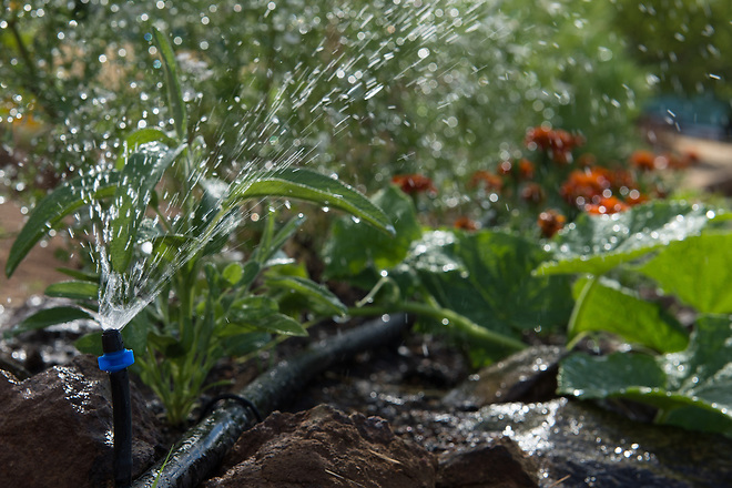 Mulch on the plants and micro irrigation to help reduce watering in Smartsville, Calif. on June 26th, 2014.  Kelly M. Grow/ California Department of Water Resources