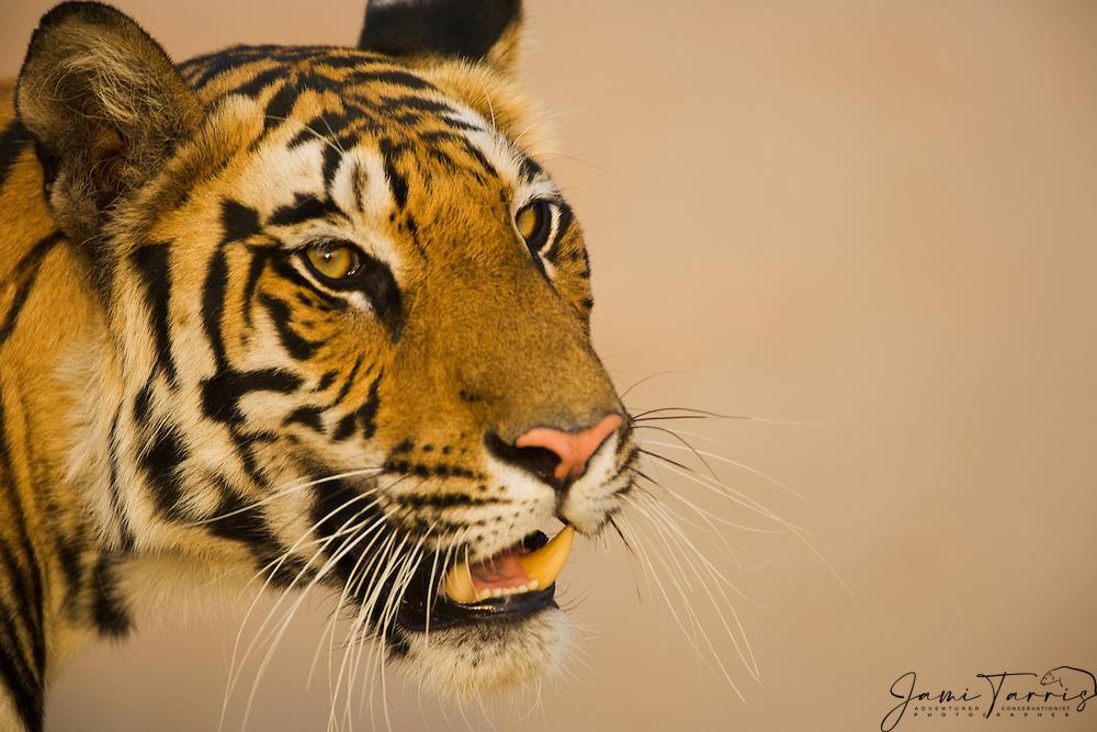 A wild Indian bengal tiger (Panthera tigris tigris) headshot portrait,Bandhavgarh,Madhya Pradesh,India