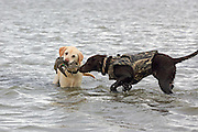 A ten year old yellow lab doesn't want a six month old chocolate pup to help retrieve a greenwinged teal during a Manitoba Waterfowl Hunt