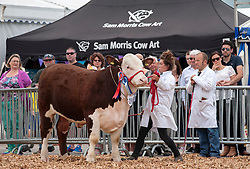 © Licensed to London News Pictures. 27/05/2015. Shepton Mallet, Somerset, UK.  Beef Bulls are paraded for judging at the Royal Bath & West Show.  Photo credit : Simon Chapman/LNP