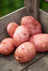 Potato 'Sarpo Axona' in a wooden box. Solanum tuberosum