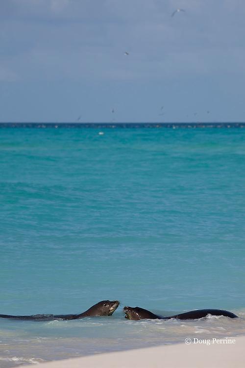 Hawaiian monk seals, Monachus schauinslandi, male makes advances toward female, Critically Endangered endemic species, Sand Island, Midway, Atoll, Midway Atoll National Wildlife Refuge, Papahanaumokuakea Marine National Monument, Northwest Hawaiian Islands ( Central North Pacific Ocean )