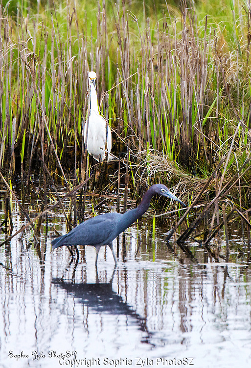 Little Egret and Little Blue Heron at Nature Center of Cape May