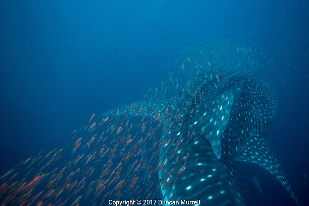 Whale shark (Rhincodon typus) evading predation, Honda Bay, Palawan, the Philippines.
