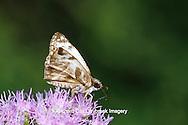 03652-00110 Laviana White-Skipper butterfly (Heliopetes laviana) on Crucita Mistflower (Eupatorium odoratum) Santa Ana National Wildlife Refuge, Hidalgo Co. TX