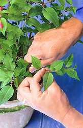 Taking softwood cuttings from a fuchsia. Taking material from the plant with a knife