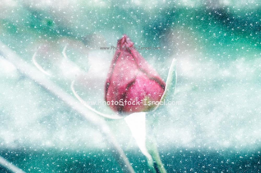 Digitally manipulated Pink garden rose in a blizzard