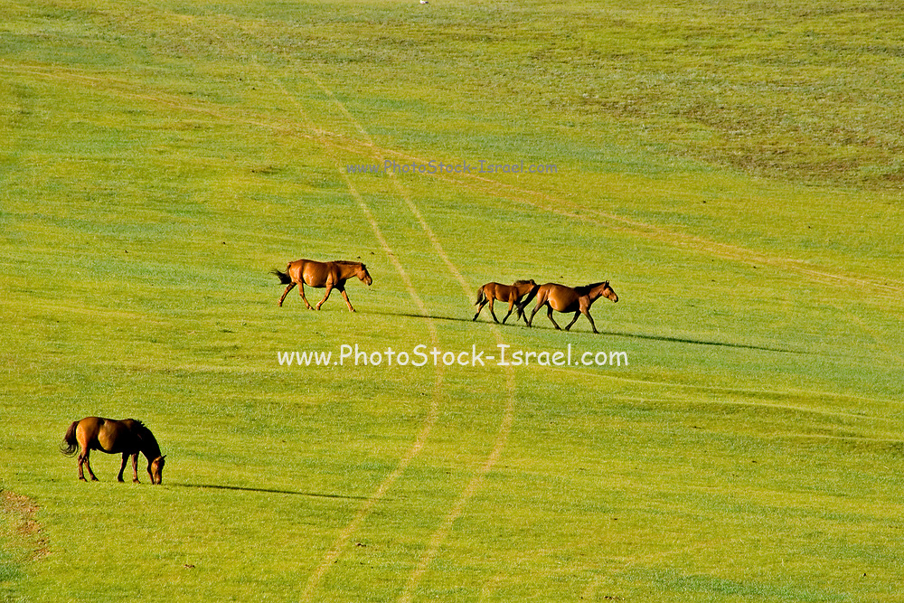 Horses in the open plains near Shiveet Manhan, Mongolia