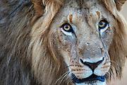 A male lion portrait (Panthera leo), Masai Mara, Kenya