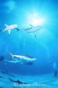 scuba divers observe, blacktip and Caribbean reef sharks, Carcharhinus limbatus, and Carcharhinus perezi, Walker's Cay, Abaco Islands, Bahamas ( Western Atlantic Ocean )