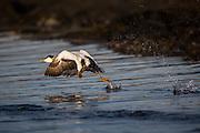 Common eider escaping and running on the water   Ærfugl i flukt som løper på vannet