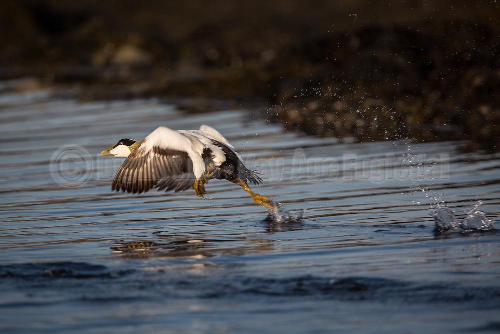 Common eider escaping and running on the water | Ærfugl i flukt som løper på vannet