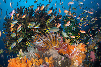 Anthers and Damsels feed in the current around colorful Hard and Soft Corals<br /> <br /> Shot in Indonesia