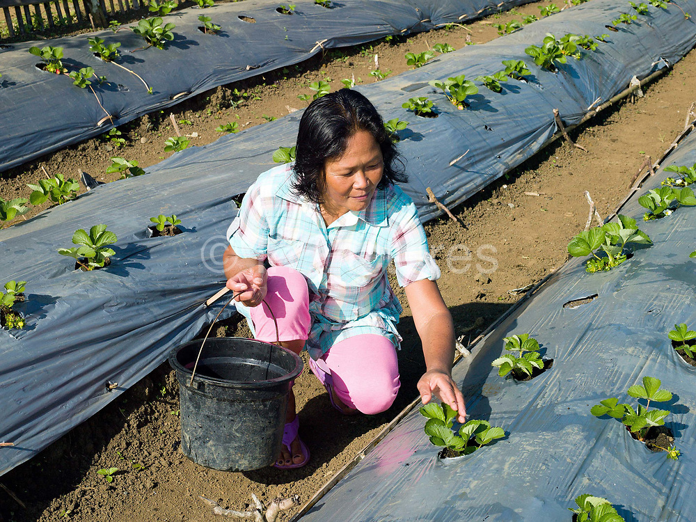 "Helen Jawil, a member of the ""Women's Rural Improvement' group takes care of the strawberry plants on communal land in Sitio Matinao, Alamada, Cotabato province, Mindanao Island, The Philippines. Women in the group make use of a small piece of land which they use to grow new vegetables and crops before trying them at home in their own gardens. 