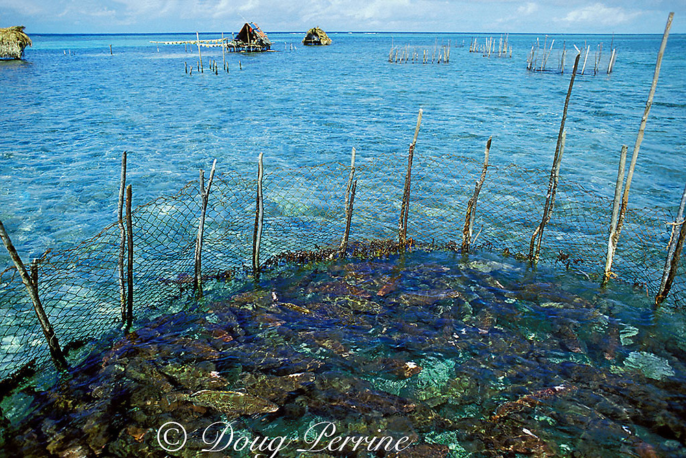live grouper pen on shallow reef near spawning aggregation <br /> site with fishermen's huts and fish-drying lines in back, 1988<br /> Caye Glory ( Emily ), Belize, Central America <br /> ( Caribbean Sea )