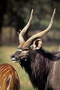 Nyala male (Tragelaphus angasi). Native range: lowland woods of extreme SW Africa including Zimbabwe, Mozambique and South Africa. Captive.