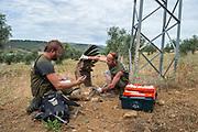 Staff of Amus Wildlife Recovery Center checking an electrocuted griffon vulture, Sierra de Alconera, Extremadura, Spain.