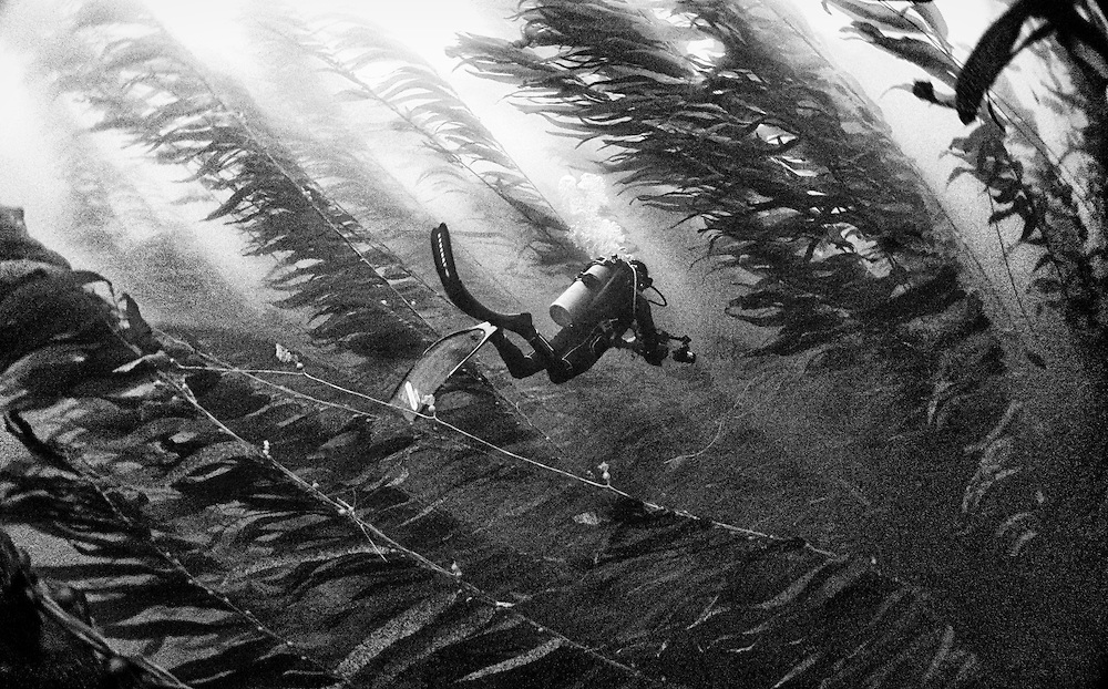 Diving in a forest of kelp near Ilsa Cedro, México.<br /> <br /> Few times, when you get lucky, you can see great white sharks chasing sea lions in between the kelp.