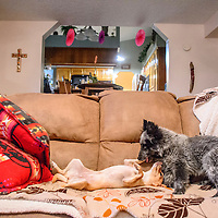 070915  Adron Gardner/Independent<br /> <br /> Sandy, left, and Zip, two foster puppies, play on the couch at the home of Kris Gruda in Gallup Thursday.  Gruda began volunteering for the humane society a few years ago, when she saw an ad in the paper about the need for foster homes for displaced and abandoned puppies and kitties.