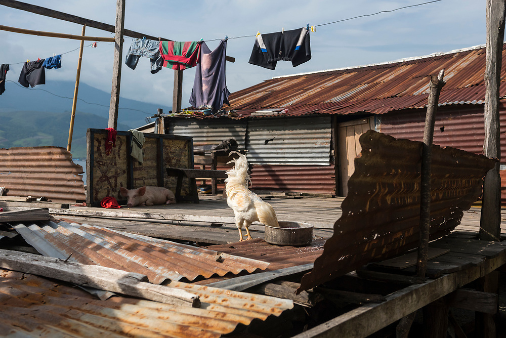 Lake Sentani, Papua, Indonesia - July 16, 2017: A rooster eats while a pig rests in the shade in Kampung Ayapo, a village on Lake Sentani, located near Jayapura in the Indonesian province of Papua.