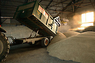 Tractor with trailer tipping harvested barley grain into store