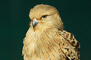 Greater kestrel, Falco rupicoloides, Limpopo, South Africa, prefer arid areas, from open grassveld to dry savannah and desert, immature bird