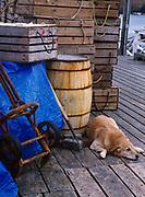 Maggie sleeping on dock of the Pemaquid Fisherman's Co-op, Pemaquid Harbor, Maine.