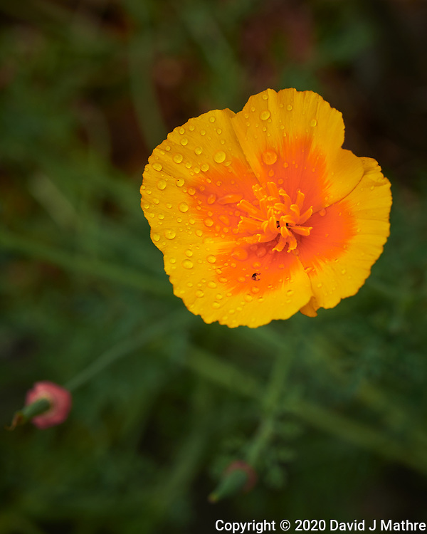 California Poppy after the rain. Image taken with a Nikon D850 camera and 60 mm f/2.8 macro lens.