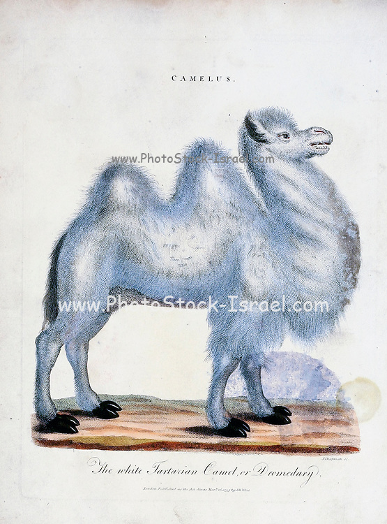 The white Tratarian camel or Dromedary. The caption must be wrong as the  Dromedary camel has only one hump. This is probably the Bactrian camel<br /> (Camelus bactrianus) Copper engraving with hand colouring Encyclopaedia Londinensis, or, Universal dictionary of arts, sciences, and literature [miscellaneous plates] by Wilkes, John Publication date 1796-1829