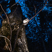 This is a Japanese dwarf flying squirrel (Pteromys volans orii) taking a moment to gather itself after emerging from its nest to head out for a night of foraging. Known locally as ezo-momonga, this sub-species of Siberian flying squirrel is found only in Hokkaido, Japan. It is primarily nocturnal. Mature females measure up to 15cm, males up to 18cm (not including tail). These animals weigh up to 120g and are capable of gliding considerable distances. During flight, they use their patagia (membranes of skin between their forelimbs and hind limbs) and tails (10-12cm) to achieve lift, directional control and maneuvering capability. One study in Japan recorded a maximum glide distance exceeding 49m, though most flights fell into the 10m to 20m range.