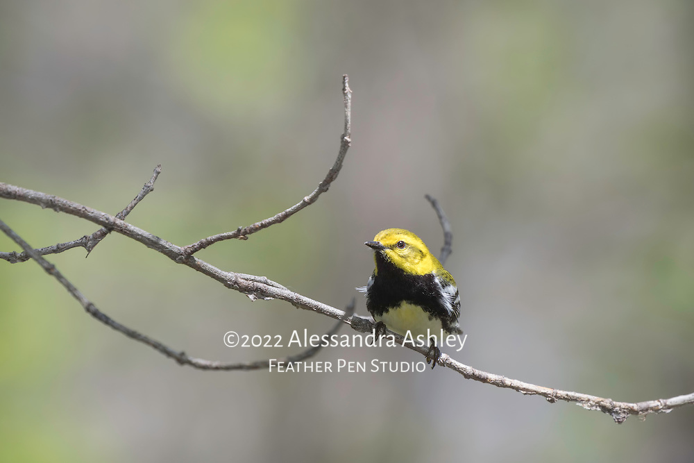 Black-throated green warbler, a tiny, colorful songbird in the wood-warbler family. Photographed at Magee Marsh Wildlife Area in northwest Ohio, a prime stopover point for neotropical migratory birds in spring.