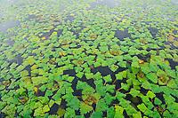 Water chestnut, Trapa natans, Danube delta rewilding area, Romania