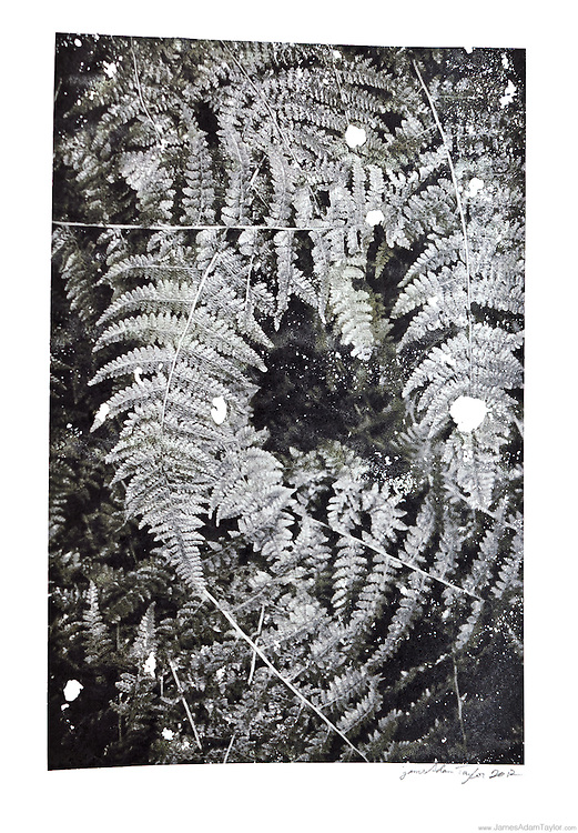 """Description:<br /> An experimental photo transfer from 2012,  ferns on sketchbook paper.<br /> <br /> Medium: Alcohol Transfer<br /> <br /> Size: image size is approximately 8.5"""" x 5.5"""" on 8.5"""" x 11"""" paper<br /> <br /> Edition size:<br /> 2<br /> <br /> Note:<br /> Each image is slightly different due to the nature of the transfer process."""