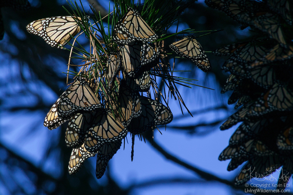 Thousands of monarch butterflies (Danaus plexippus) rest in a tree in Pacific Grove, California. The flight muscles of a monarch butterfly do not work well unless the temperature is above 55 degrees Fahrenheit (13 Celsius), so during the winter they cluster in large masses to conserve heat.