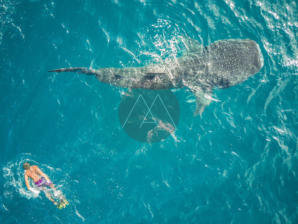 Aerial view of a man swimming with the Whale sharks on Mafia Island, Tanzania.