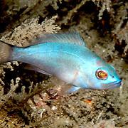 Blue Hamlet inhabit reefs in South Florida and Keys; picture taken Blue Heron Bridge, Palm Beach, FL.
