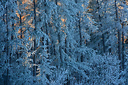 Jack pine trees covered in hoarfrost with shafts of warm afternoon light peeking through.<br /> Belair Provincial Forest<br /> Manitoba<br /> Canada