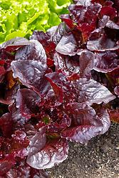 Lettuce Batavia Red