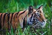A wild Indian Bengal tiger (Panthera tigris tigris) wading through deep water in the jungle,Bandhavgarh,Madhya Pradesh,India
