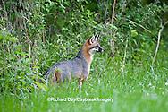 01867-00102 Gray Fox (Urocyon cinereoargenteus) female in field, Holmes Co, MS