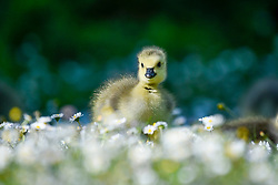 © Licensed to London News Pictures. 06/05/2020. Rickmansworth, UK.  A member of a large clutch of Canada Goose goslings sits amongst daisies during warm weather at Rickmansworth Aquadrome in the north west of the capital.  Wildlife has enjoyed the absence of humans around their environment during the ongoing coronavirus lockdown.  Photo credit: Stephen Chung/LNP