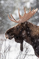 Bull moose portrait, Banff National Park, Alberta, Canada