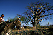 Man passing in front of a baobab tree with a donkey. Donkeys are very common in Cape Verde but not trees.
